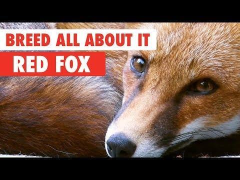 Red Fox Antics Compilation