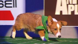 Puppy Profile: Clyde the Corgi | Puppy Bowl XIV