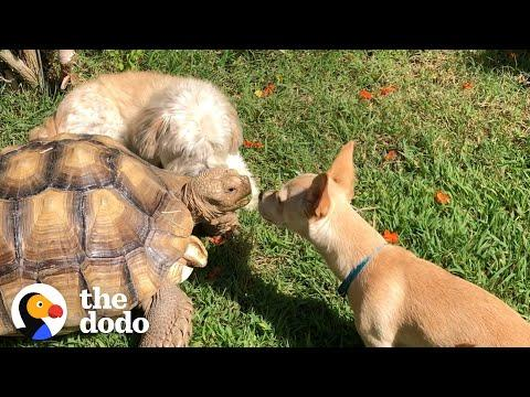 Woman Brings A New Puppy Home To Her Tortoise And Watch What Happens Next! #Video