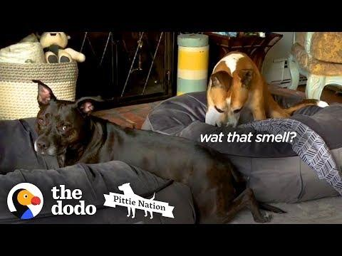 These Two Pitties Are ALWAYS Bickering  | The Dodo Pittie Nation