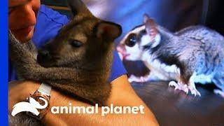 Sugar Glider vs Wallaby: Which Pet Would You Rather Have? | Pets 101
