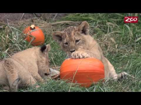 Lion Cubs Pumpkin Play Date