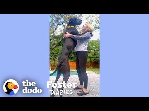Woman With A House Full Of Dogs Fosters Two Adorable Great Danes