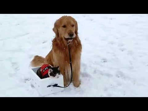 Golden Retriever Pulling Cat On a Snow Sled Video