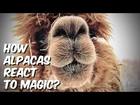 How Alpacas React To Magic