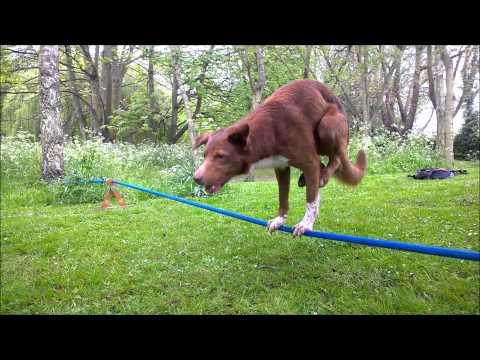 Acrobatic Dog, Handstand On Rope