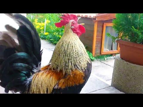 Roosters Crowing – Funny Laughing Rooster Videos – Funny Roosters Video