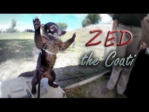 Introducing Zed The Coatimundi