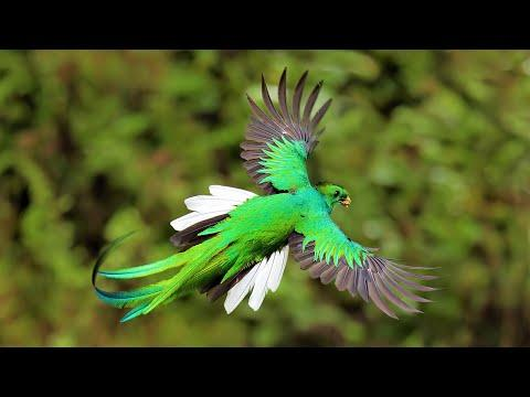 6 Most Beautiful Quetzals in the World Video