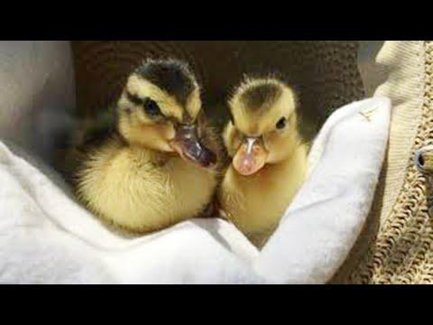 Tired Ducklings Falling Asleep Will Totally Make Your Day #Video