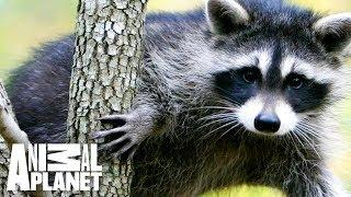 Animal Bites With Dave Salmoni | On the Rise: Raccoon Climbs Building in Daylight