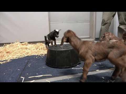 Goat Kids Get the Zoomies