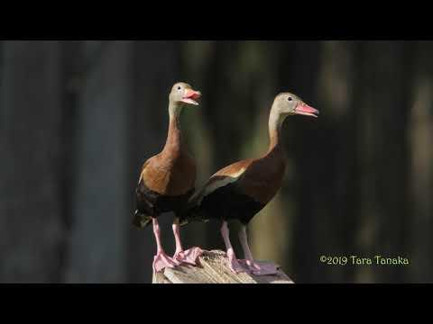 Black-bellied Singing Duck with a wicked vibrato