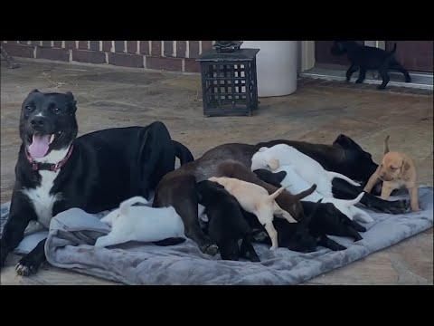 This sweet dog's puppies all got adopted and she immediately started nursing 7 tiny orphans #Video