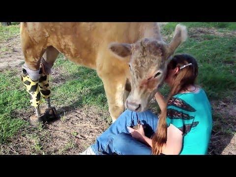 Hero - The Inspiring Amputee Cow