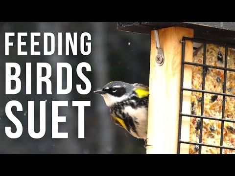 Feeding Birds Suet Video