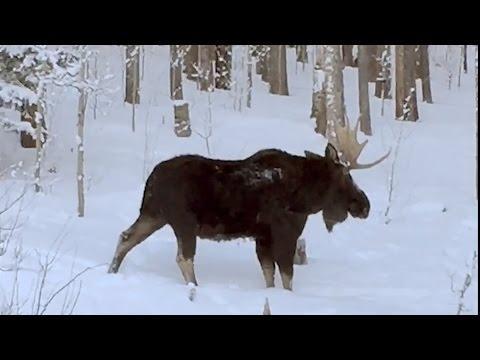Rare Video: Moose Loses An Antler