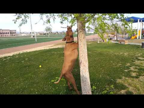 Vizsla Dog Attacking A Tree
