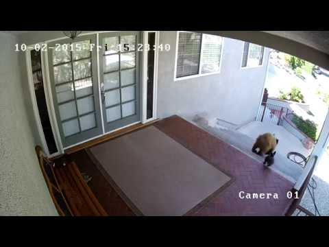 Jules The French Bulldog Scares Away Two Bears