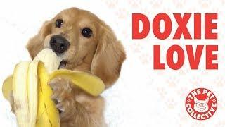 Breed All About It! | Cute Dachshund Videos