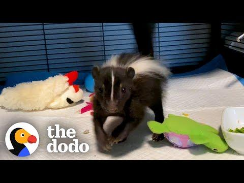 Baby Skunk Does The Cutest Stomps Video