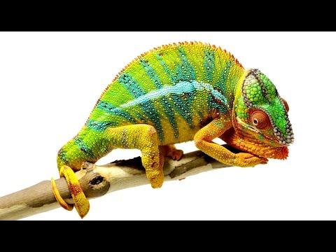 Beautiful Footage: Chameleons Are Amazing