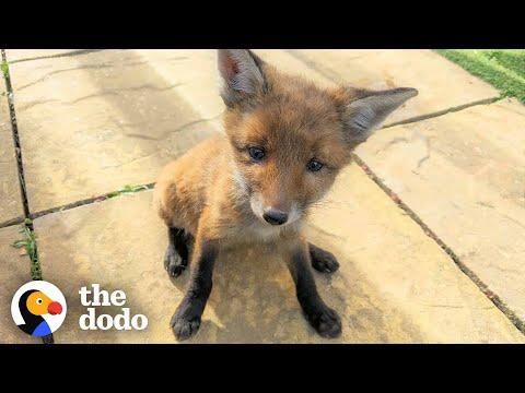 Family Rescues Baby Fox In Their Backyard And Reunites Him With Mom Video