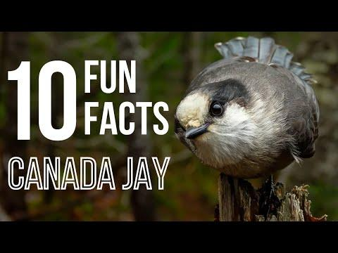 10 Fun Facts About Canada Jays AKA Gray Jays Video