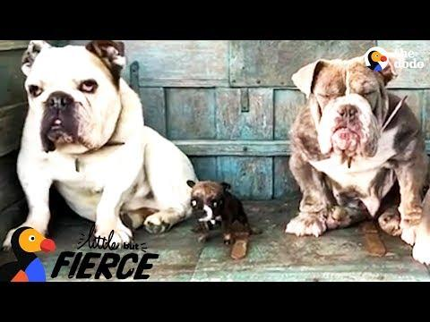 Teeny Tiny Bulldog Won't Stop Talking  | The Dodo Little But Fierce