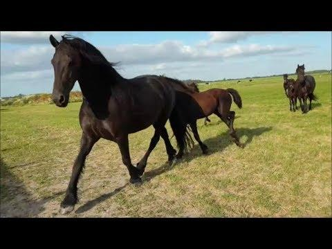 Play time for the Friesian horse foals!!