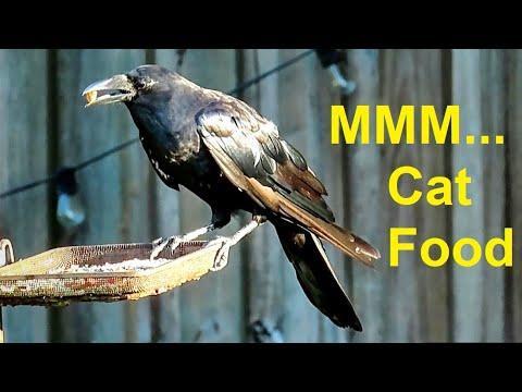 Corvids Love Cat Food Kibbles - Big Bird Feeding Strategies