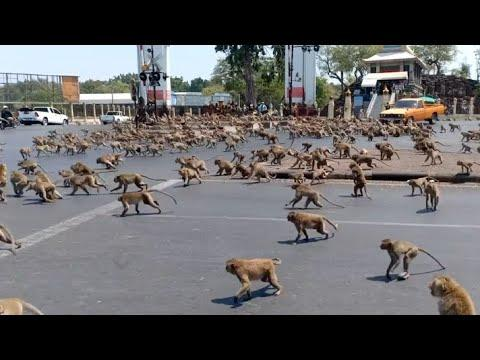 Monkey Swarm Takes Over City. Your Daily Dose Of Internet.
