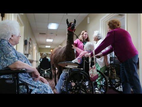 Llamas Bring Happiness To Nursing Home