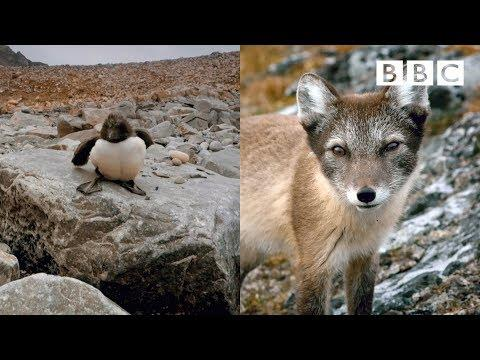 Arctic Fox SHUT DOWN by bravest Guillemot Chick in the world | Spy In The Wild - BBC