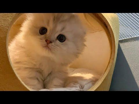 This Fluffy Little Kitty Is a Heart Stealer Video