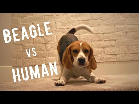Cute beagle challenges human to playfight video.