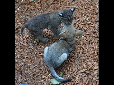 Unlikely Friends Bobcat And Coyote Pup