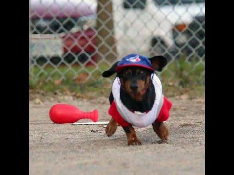 Crusoe & Oakley Dachshunds Play Baseball!