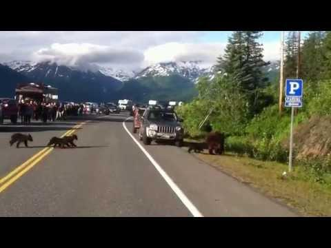 Mama bear and four grizzly cubs Valdez, AK #Video