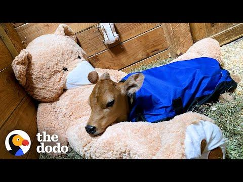 Sick Baby Cow Headbutts His BFFs All Day Now Video