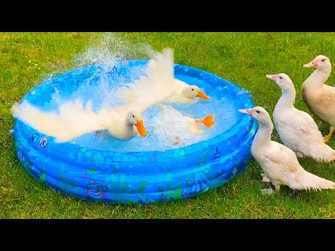 Ducks swimming in an inflatable pool / slow motion #Video