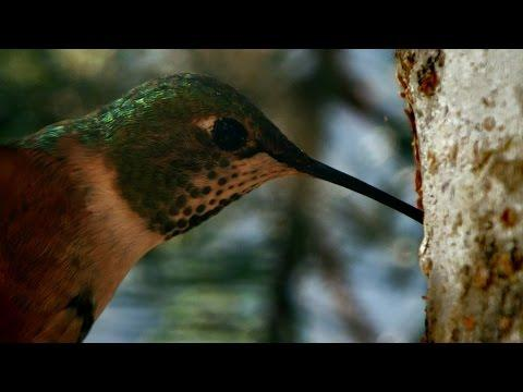Sneaky Hummingbird - Alaska: Earth's Frozen Kingdom