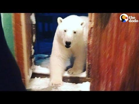 Polar Bears Have Invaded Russian Town | The Dodo