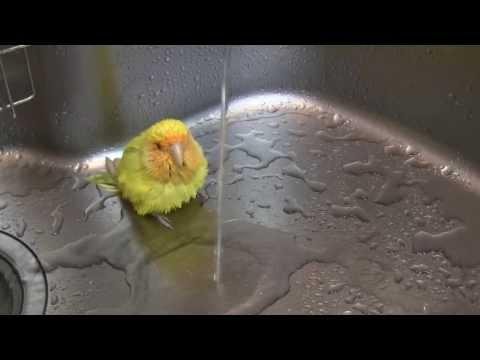 Love Bird Takes A Bath