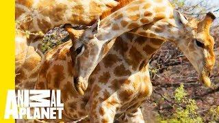 Giraffe Attack Reminds Us How Unpredictable Animals Can Be