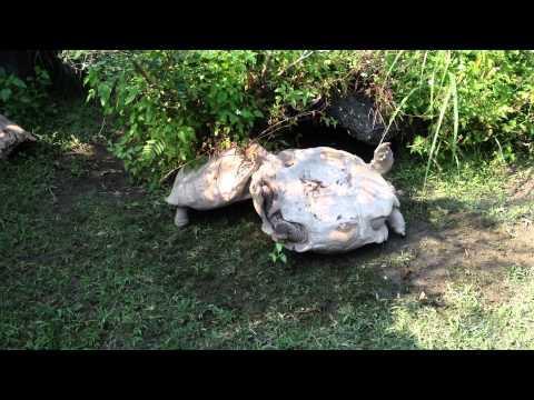 Turtle Turns Over Turtle...