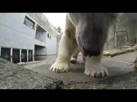 Polar Bear Attempts To Eat Camera