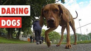 Daring Dogs | Funny Dog Video Compilation 2017