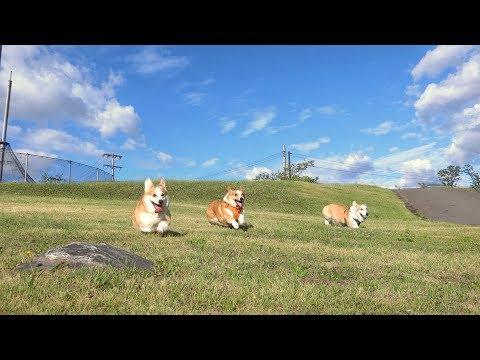 Three Corgis Run and Jump !!