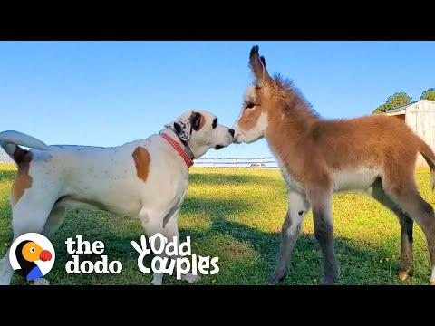 Dog Becomes Obsessed With A Newborn Donkey Video
